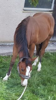 Paint Horse Wallach *