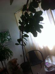 Avocado mit vielen Blättern in