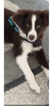 Australian Shepherd 6 Monate