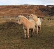 palomino Isländer Hengstfohlen aus Elitestute
