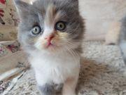 BLH Kitten blau-
