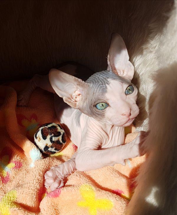 Hübscher Don Sphynx » Katzen