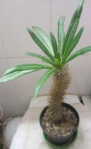 Zimmerpflanzen - Sukkulenten - Aloe