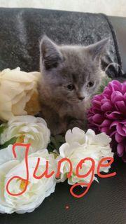 NEU reinrassige BKH Kitten Kätzchen