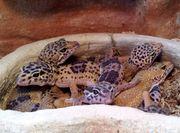 Leopardgeckos zu verkaufen
