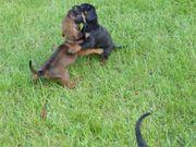 Schweißhund-Brackewelpen