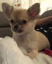 Chihuahua mit Papieren