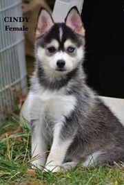 Ausgezeichnete Siberian Husky
