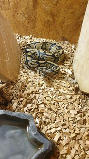 Python mit Terrarium