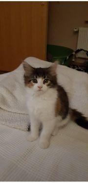 Maine Coon Kitten Ladys