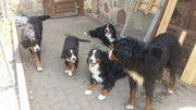 Berner-sennenhund-Welpen