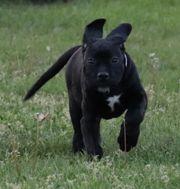 cane corso welpen