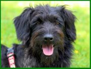 Barbie 11 Monate - Puli-Schnauzer-Mix - Tierhilfe