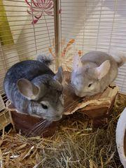 Zwei Chinchilla Männchen