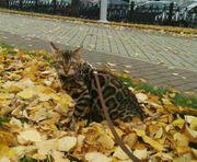 Bengalkatzen Katzenbabys Bengal Kitten