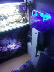 Meerwasser Koralle Aquarium ca 500