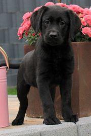 Mia unsere Schwarze Labrador Hündin