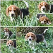 3 Beaglewelpen (Hündinnen)