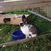 junges Kaninchen, männlich (