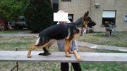 Schäferhund-Welpen abzugeben