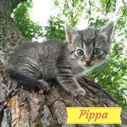 Pippa (Katze aus