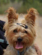 Ali, Yorkshire Terrier,