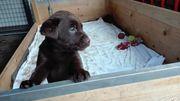 Labradorwelpen suchen ein liebevolles Zuhause