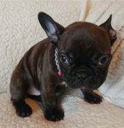 super Franz. Bulldog