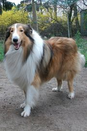 Collie Deckrüde
