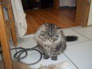 Miau Knutschi Maine Coon Kätzchen
