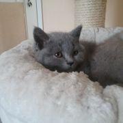 Bildschöne BKH Kitten