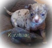 Bildhübsche Chihuahua Welpen