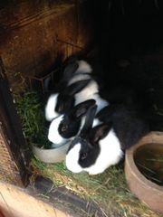 Holländer Kaninchen