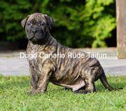 Kräftige Dogo Canario