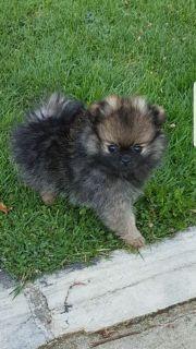 Pomeranian Zwergspitz Hündin