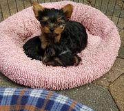 Liebenswerte Yorkshire Terrier