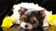 Unsere tollen Biewer Yorkshire Terrier