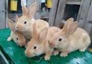 Burgunder Kaninchen