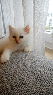 Heilige Birma Kitten ,