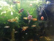 Fische ohrschlammschnecken usw