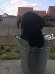 Labrador Welpen (Mix)