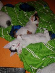 Kitten türkisch Kurzhaar/