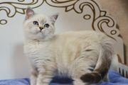 Chinchilla Blaue Augen