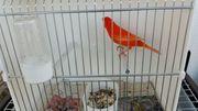 Rote Kanarienvögel zu verkaufen