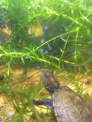 Kleinbleibende Wasserschildkröte für Anfänger Kinosternon