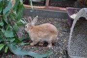 Kaninchen weiblich 5