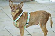 Dixie, freundlicher Chihuahua