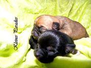Chihuahua Welpe schwarze Hündin Lena