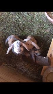 Kaninchenbaby Böckchen unkastriert