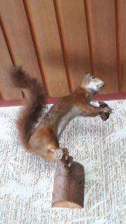 Eichhörnchen präpariert